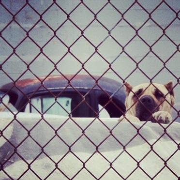 junkyard-dog
