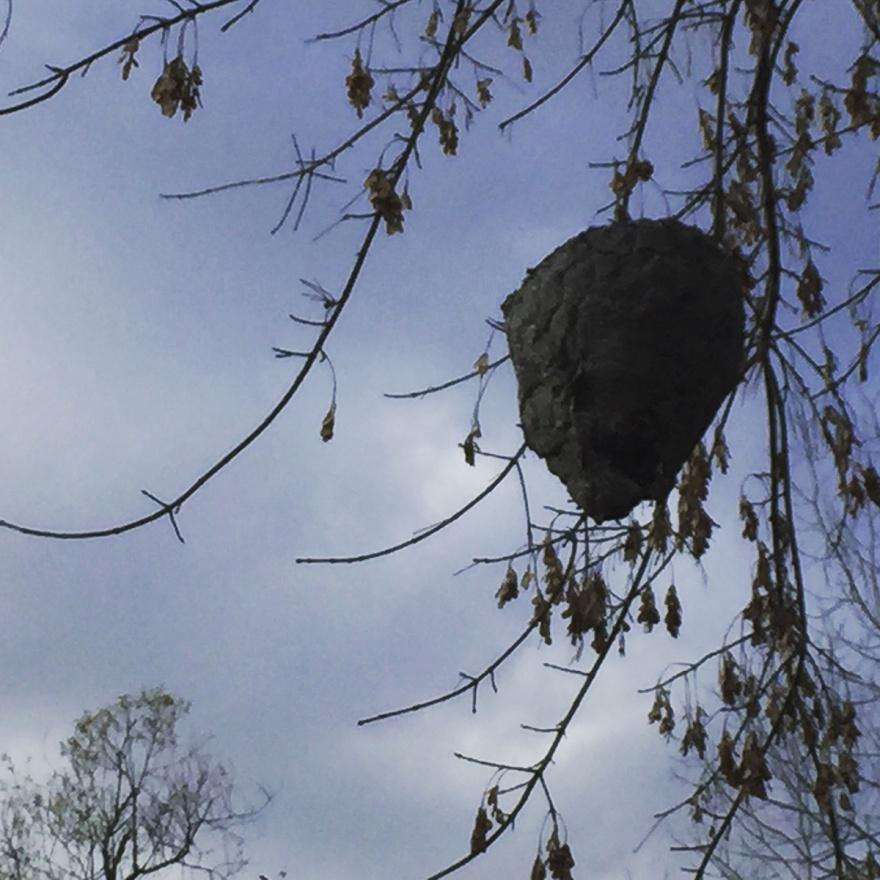 hornet's_nest