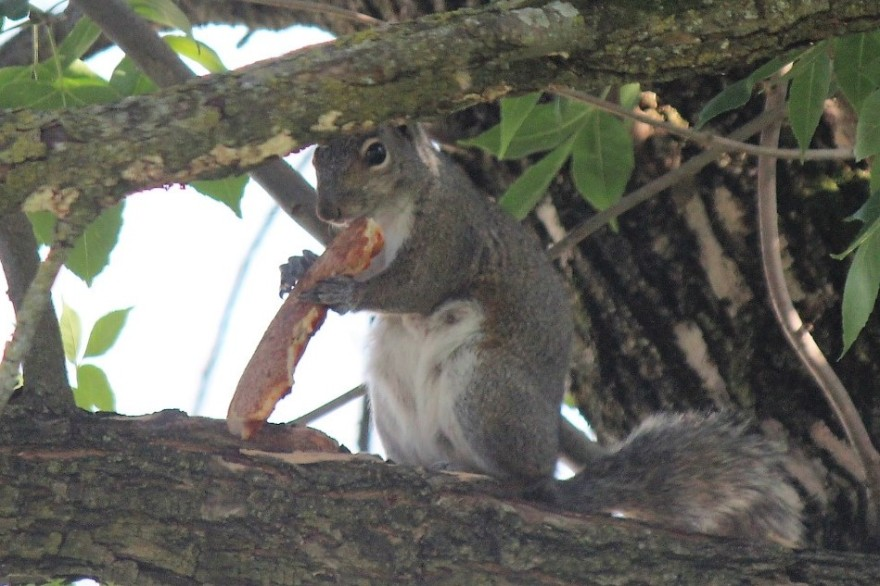 squirrel_eating_pizza